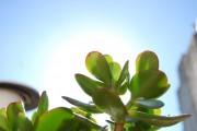 Фото 20 Денежное дерево (60 фото): как получить красивое и здоровое растение?