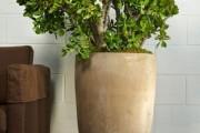 Фото 23 Денежное дерево (60 фото): как получить красивое и здоровое растение?