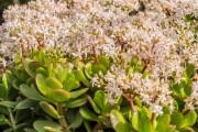 Фото 4 Денежное дерево (60 фото): как получить красивое и здоровое растение?