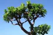 Фото 30 Денежное дерево (60 фото): как получить красивое и здоровое растение?