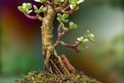 Фото 11 Денежное дерево (60 фото): как получить красивое и здоровое растение?