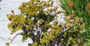 Денежное дерево (60 фото): как получить красивое и здоровое растение? фото
