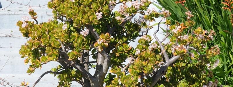 Денежное дерево (60 фото): как получить красивое и здоровое растение?