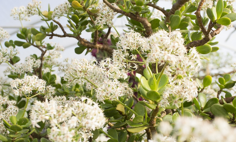 Цветение денежного дерева Crassula ovata, также известного как толстянка яйцевидная или толстянка овальная