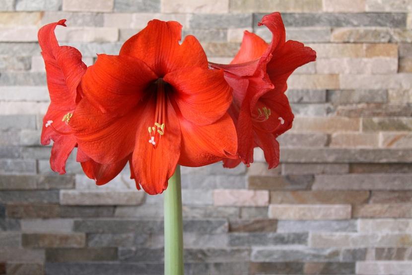 Яркий цветок гиппеаструма на плотном мощном стебле - приковывающий внимание акцент в нейтральном интерьере