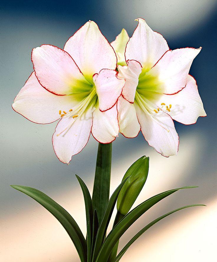 Один из так называемых Леопольд-гибридов. Сорта, отобранные после скрещивания, обладают особенно крупными, правильными по форме цветками