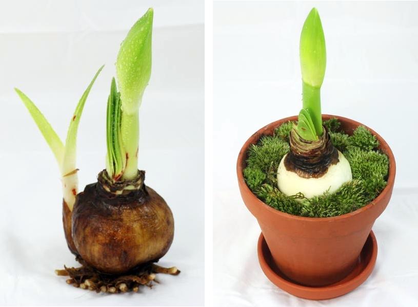 Луковица гиппеаструма при выращивании в земле должна быть не полностью покрыта ею, а только на определенную глубину