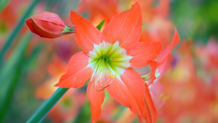 Цветущий гиппеаструм - вспышка цвета