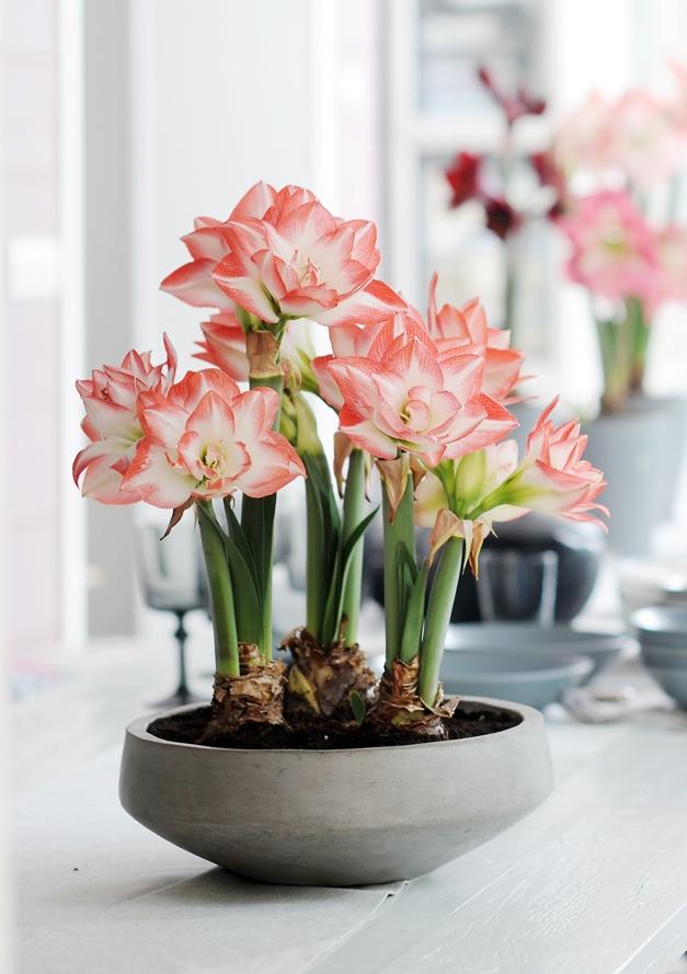 Необыкновенный контраст: каменный вазон, плотные луковицы, нежные бело-розовые соцветия