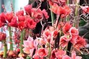 Фото 10 Гиппеаструм (45 фото): посадка, выращивание, уход