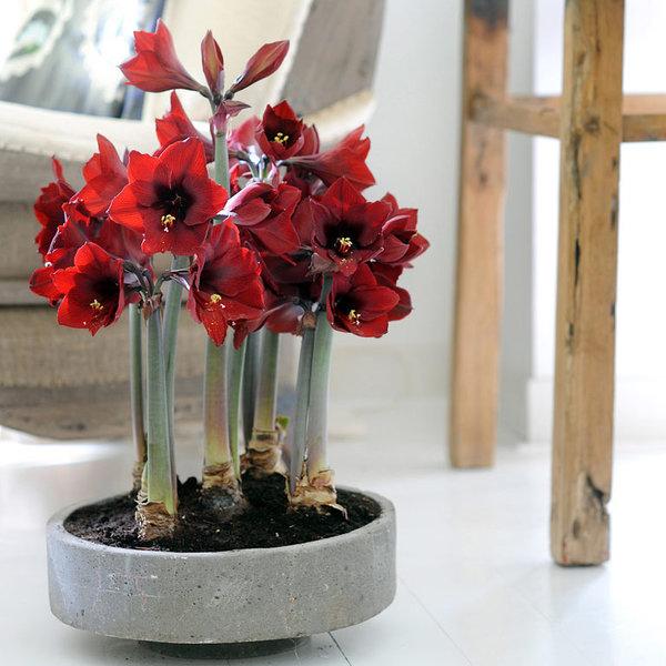 Орхидеевидные гиппеаструмы отличаются глубоким насыщенным цветом лепестков