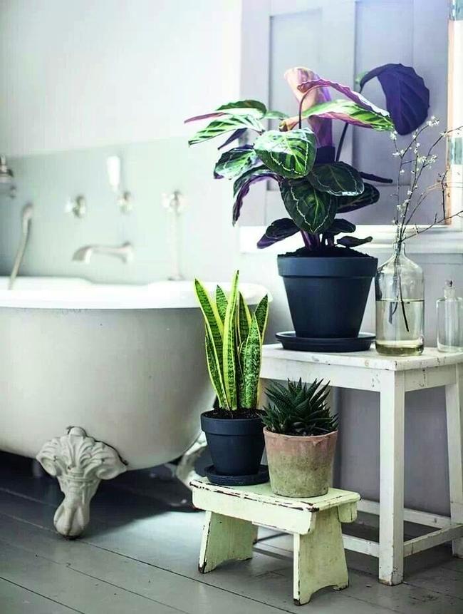 Маранта - тропическое растение и вполне подходит для украшения ванной комнаты. Но не следует забывать о том, чтобы она получала достаточно освещения.
