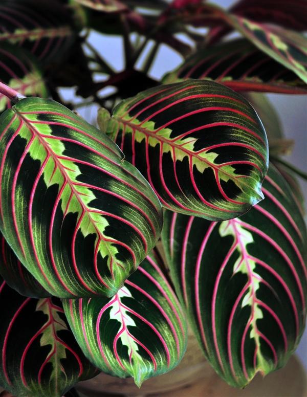 Маранта триколор. Нижняя сторона больших овальных листьев - малиновая с розовыми прожилками