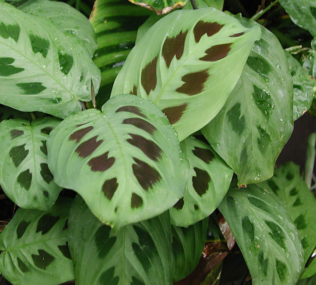 Листья маранты биколор более светлые вокруг центральной прожилки и имеют бурые пятнышки с верхней стороны