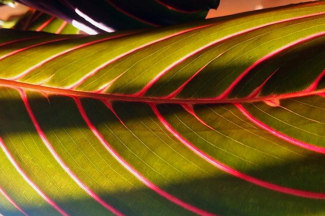 Тропическое растение маранта любит влажность, но не терпит заболачивания почвы