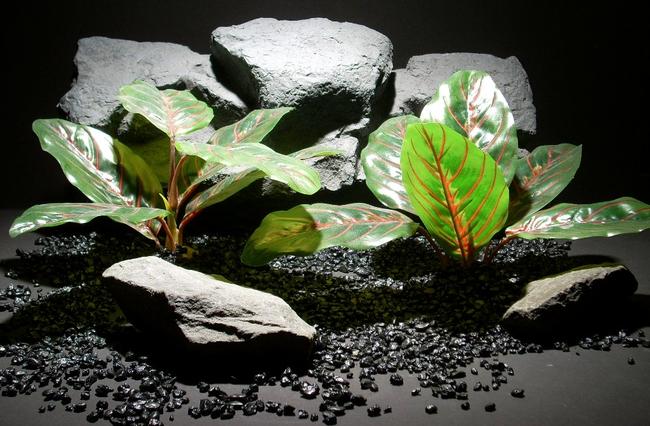 Эффектная окраска больших, сатиново-блестящих листьев маранты