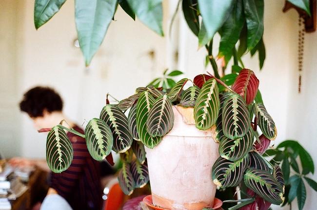 Благодаря своей эффектной расцветке маранта может стать достойным украшением дома