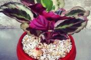 Фото 3 Маранта (48 фото): правила выращивания и ухода за «молитвенным растением»