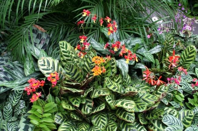 Тропическая красавица маранта