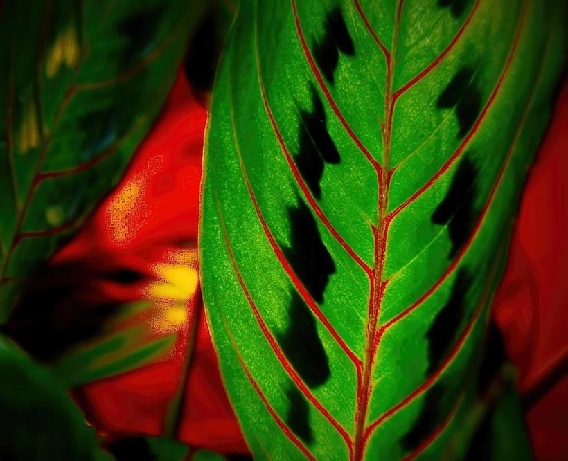 Эффектная контрастная окраска листьев маранты
