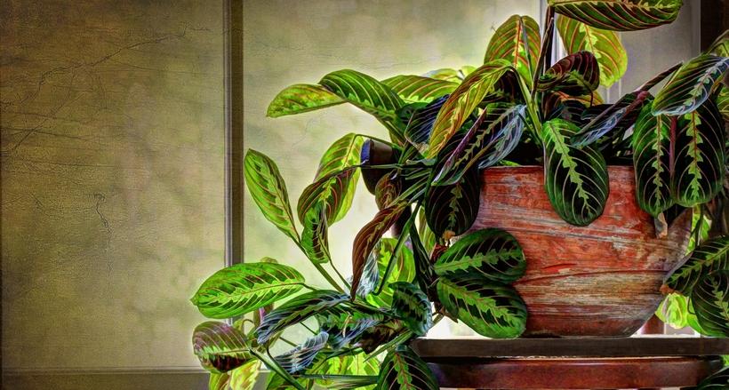 Стелющиеся листья взрослого растения маранты