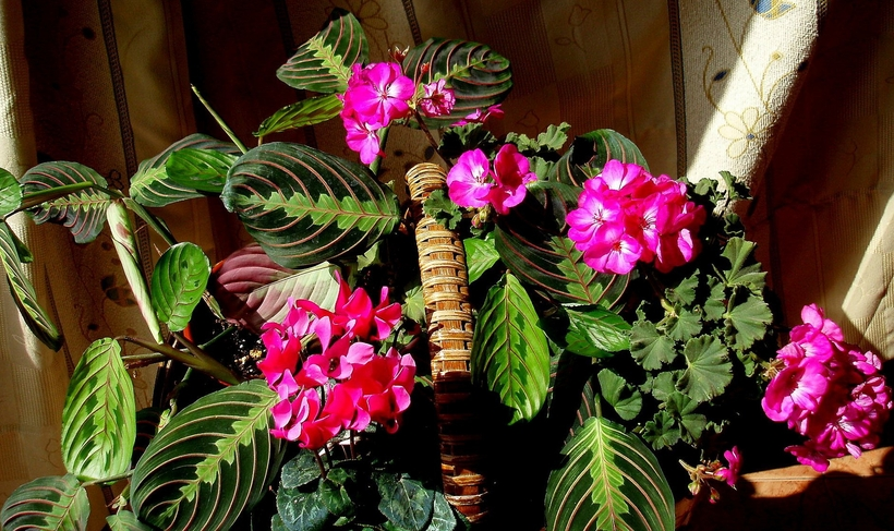 Маранта хорошо вписывается в различные интерьерные композиции из декоративных растений