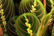 Фото 4 Маранта (48 фото): правила выращивания и ухода за «молитвенным растением»