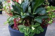 Фото 11 Маранта (48 фото): правила выращивания и ухода за «молитвенным растением»