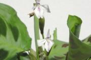 Фото 15 Маранта (48 фото): правила выращивания и ухода за «молитвенным растением»