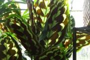 Фото 17 Маранта (48 фото): правила выращивания и ухода за «молитвенным растением»