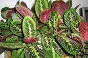 Фото 20 Маранта (48 фото): правила выращивания и ухода за «молитвенным растением»