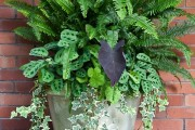 Фото 5 Маранта (48 фото): правила выращивания и ухода за «молитвенным растением»