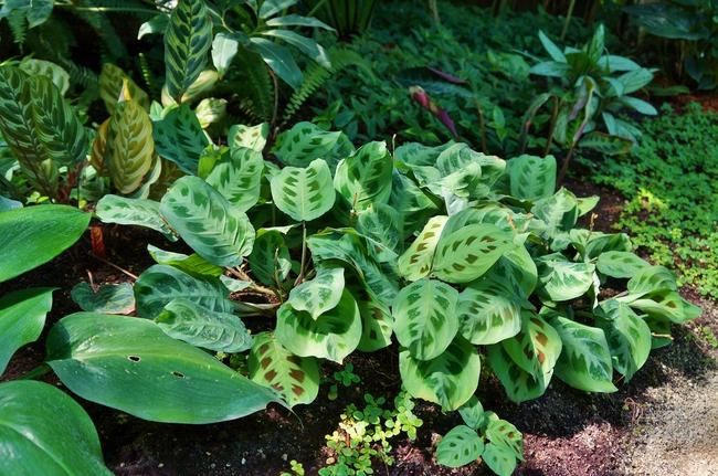 С помощью своевременной обрезки растению маранты придается нужная стелющаяся форма. Если нужен рост вверх - требуется опора для листьев.