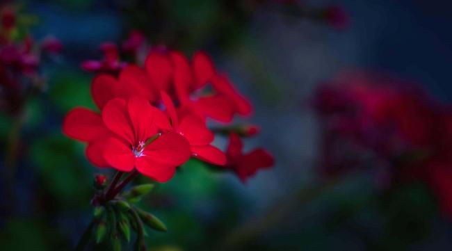 В вечернем саду пеларгония создаст атмосферу романтики