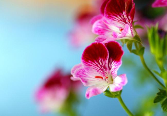 Нежная красота цветущей пеларгонии