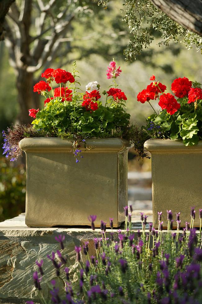 Зональная пеларгония - самый распространенный вид этого цветка