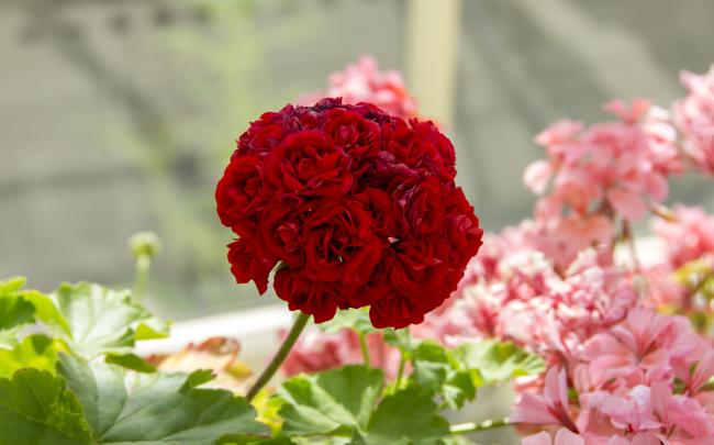 Один из сортов пеларгонии розебудной (Rosebud)