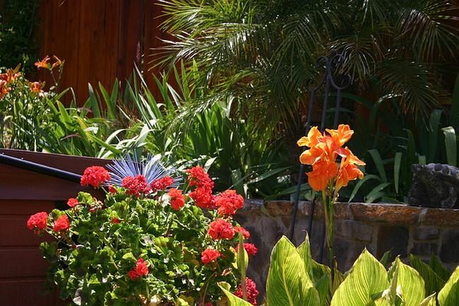 В тропическом ландшафте пеларгония отлично сочетается с каннами