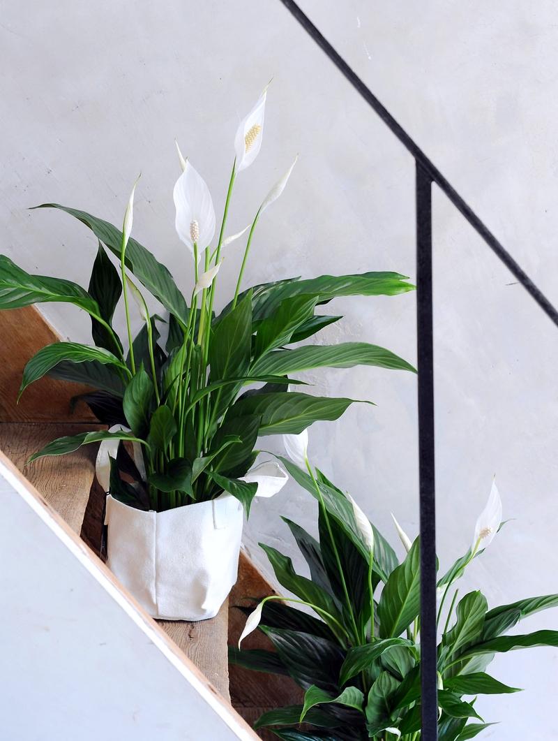 Спатифиллум: изысканные цветы, взметнувшиеся высоко вверх