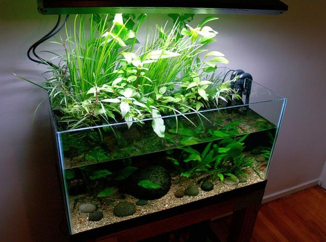 Один из способов ыращивания спатифиллума в помещении: в воде аквариума под лампой