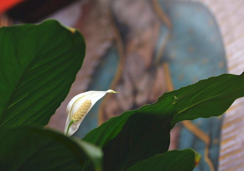 Белые цветы спатифиллума украсят абсолютно любой интерьер - от нейтрального до выстроенного на ярких красках