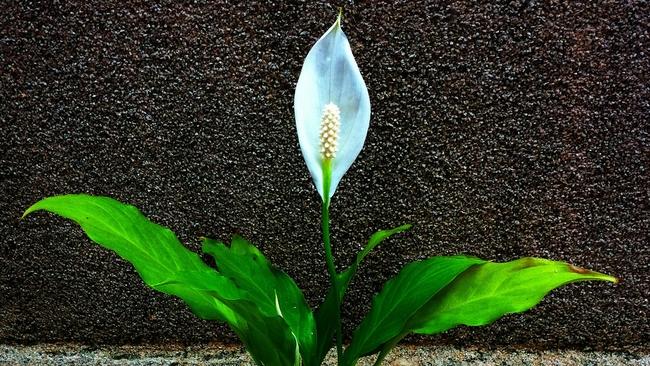 Спатифиллум - сравнительно нетребовательное домашнее растение