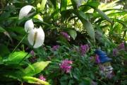 Фото 1 Спатифиллум (67 фото): «женское счастье» из тропических лесов