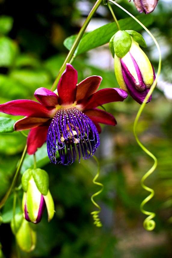 Уникальная лиана пассифлора (70 фото): выращивание, уход, размножение