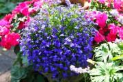 Фото 1 Лобелия (55 фото): яркое обильное цветение на весь теплый период