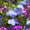 Лобелия (55 фото): яркое обильное цветение на весь теплый период фото
