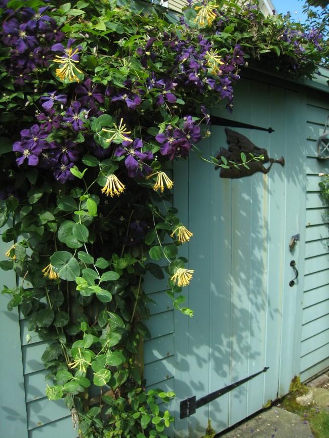 """Цветы жимолости Каприфоль имеют сложную """"каскадную"""" форму и при распускании меняют свой цвет"""