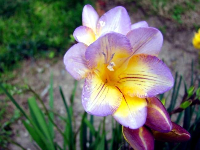 Изящная лилово-желтая фрезия