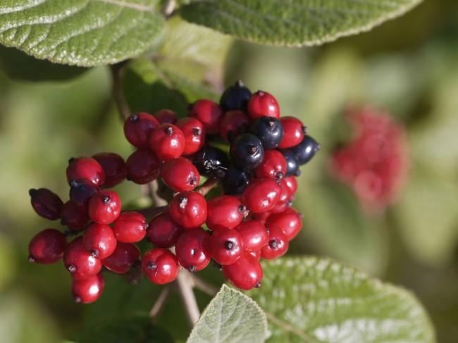 Плоды жимолости вьющейся