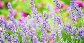 Лаванда (52 фото): посадка и уход за своенравным и красивым растением фото
